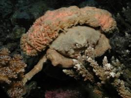 SpongeCrab