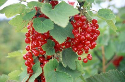 File:Currants.jpg