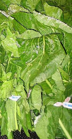 File:Turnip greens.jpg