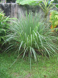 File:Lemongrass.jpg