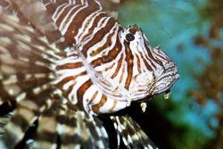 File:Scorpionfish.jpg