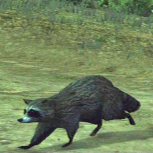 File:Raccoon-at-night.jpg