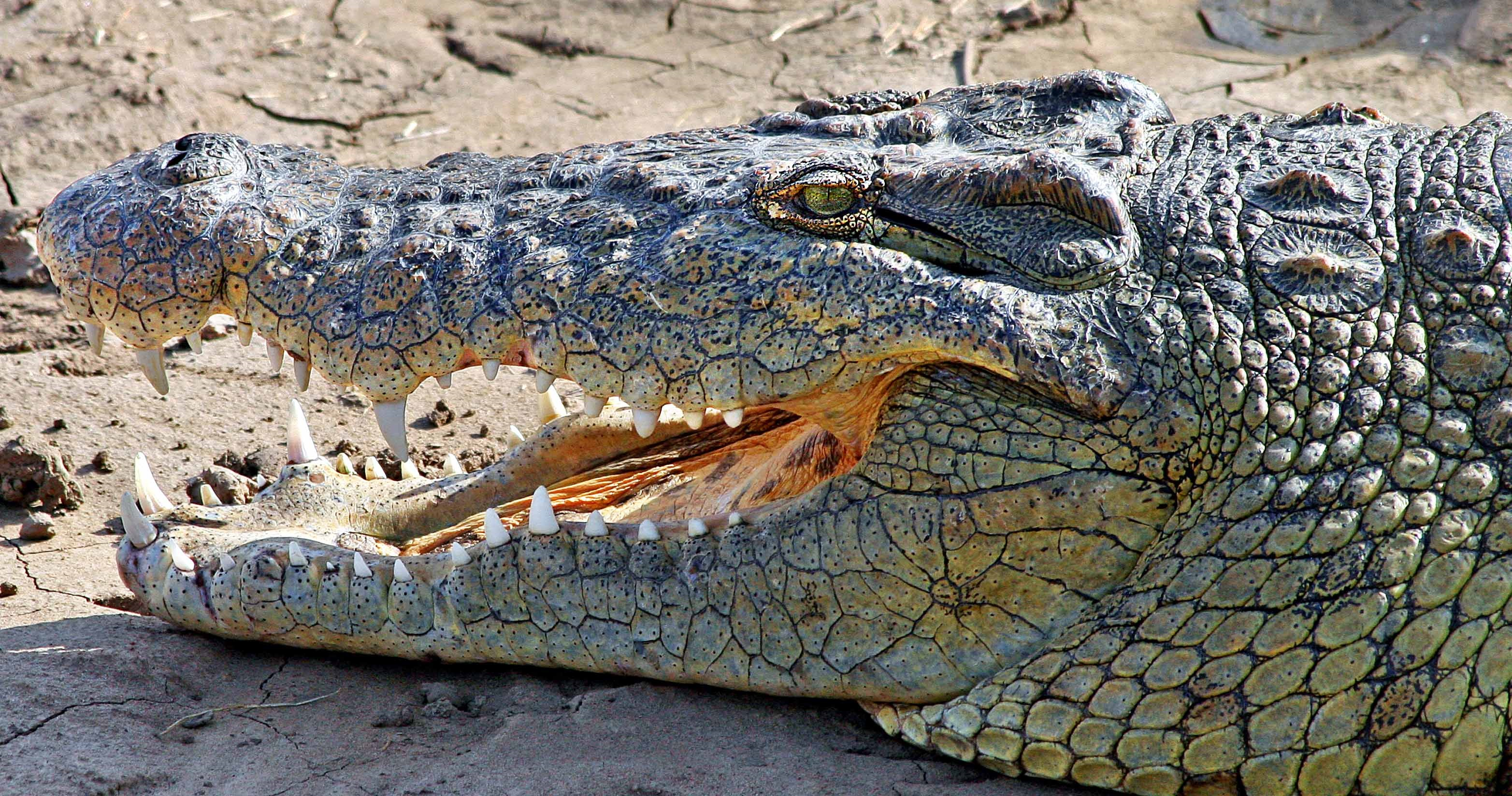 Nile Crocodile Head