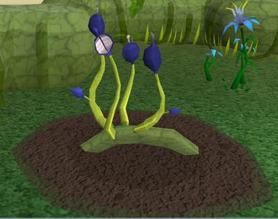 Blue vine blossom5