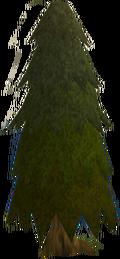 Arctic pine old