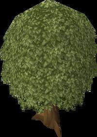 Oak tree old