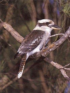 Old kookaburra