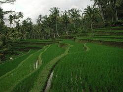 Gunung Kawi Rice Terrace Tampaksiring 1