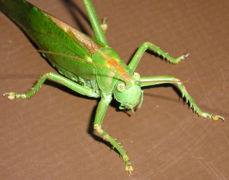 765px-Orthoptera vdg