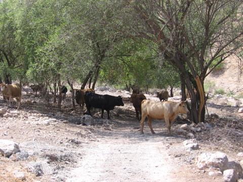 קובץ:פרות ליד עין ארבל.JPG