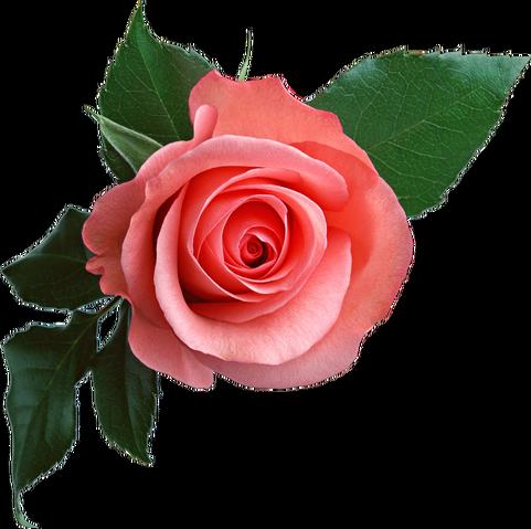 File:Rose PNG637.png