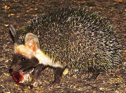 File:Desert-hedgehog-carrying-food.jpg