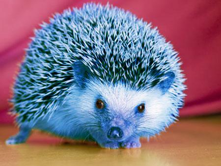 File:Blue hedgehog.jpg