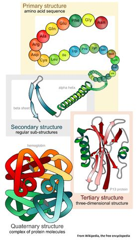 File:Main protein structure levels en svg Wikipedia 2000px.jpg