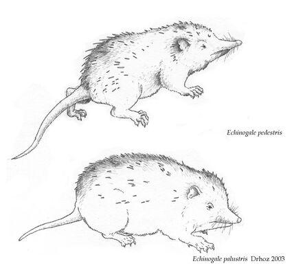 Drh-echinogale