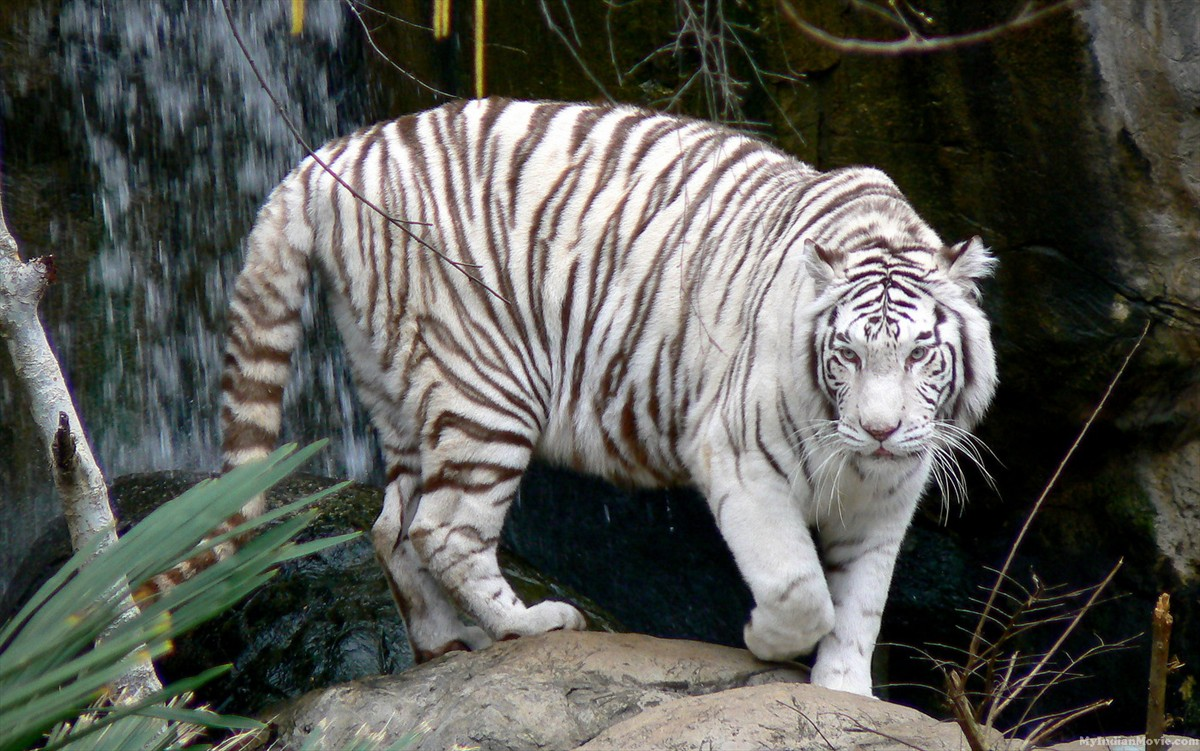 Wallpaper Bengal Tiger Hd Animals 10217: Fandom Powered By Wikia