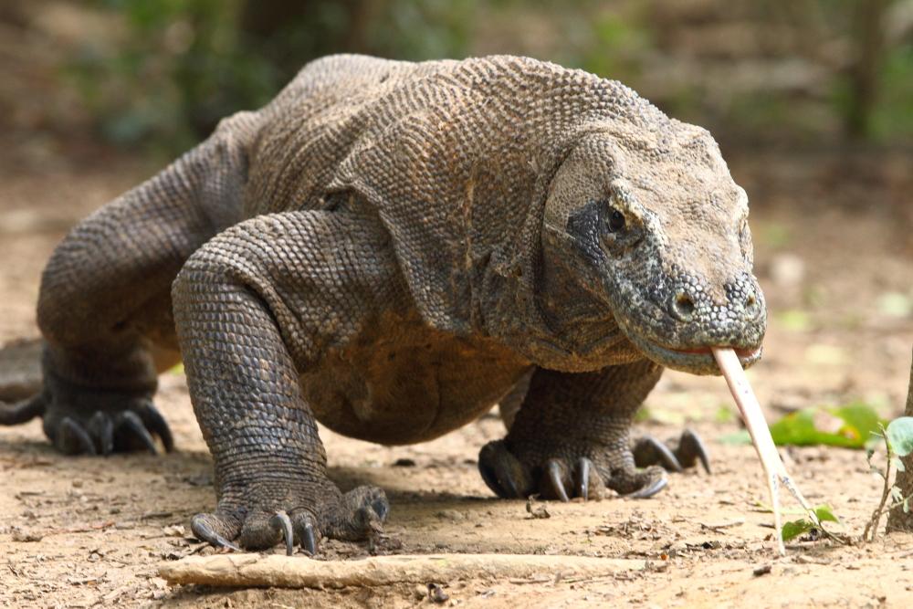 Real world Komodo Komodo Dragon