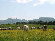 Kinderboerderij Cattle - summer fields