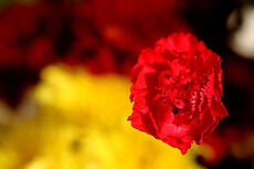 Red carnation-474