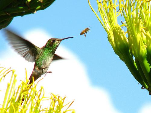 File:Hummingbird-bug-955.jpg