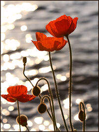 Poppies lake geneva-1237