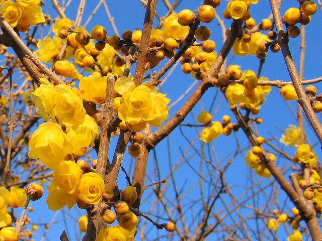 File:Allspice blossoms-2717.jpg