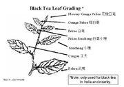 Black tea grading