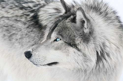 The Silver Wolf - Wikipedia