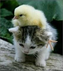 File:Kitty and baby chicken.jpg