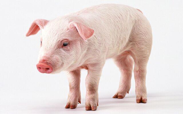 File:Pig-14.jpg