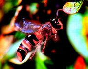 Asian Giant Hornet Mutt