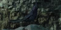 Mockingjay (bird)