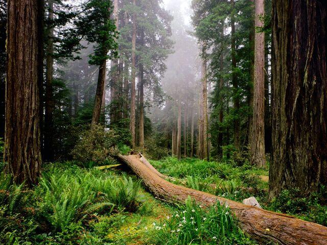 File:Fallen-Nurse-Log,-Redwood-National-Park,-California.jpg
