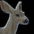 Sitka deer female leucistic