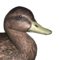 American black duck female common