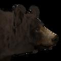 Black bear male chocolate
