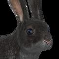 European rabbit male melanistic