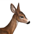 Blacktail deer female common