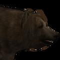 Brown bear male silvertipped