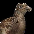 Pheasant female common
