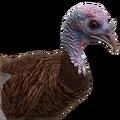Turkey female leucistic