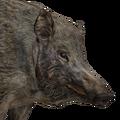 Wild boar female common