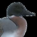Northern pintail male mallard hybrid