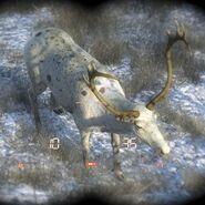 Species Reindeer D piebald