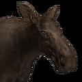 Moose female melanistic