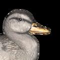 Mallard male white hybrid