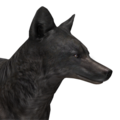 Coyote male melanistic