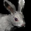 Cottontail rabbit male leucistic