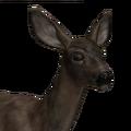 Mule deer female melanistic