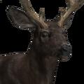 Mule deer male melanistic